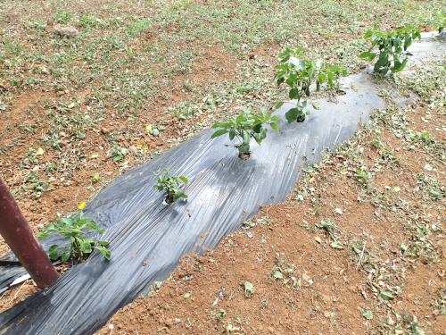 パナマの農業研究施設のビニールマルチ栽培実験