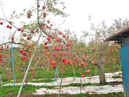 リンゴの木の下にシルバーマルチを敷き着色促進