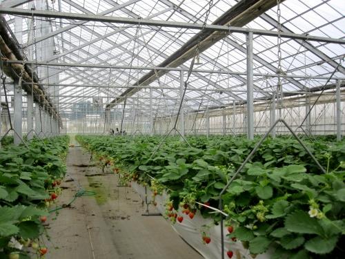 大規模イチゴ農園