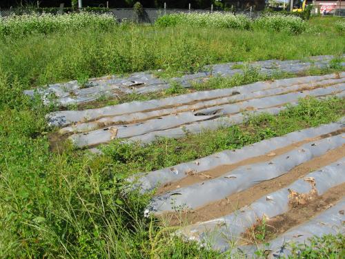栽培終了後のマルチのゴミ