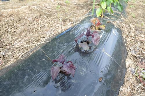 シソのビニールマルチ栽培