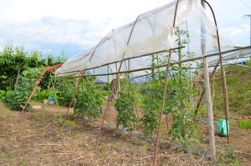 トマトの雨除け栽培