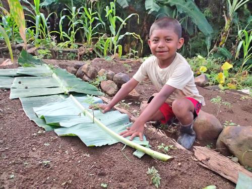 バナナの葉マルチを手伝う子供