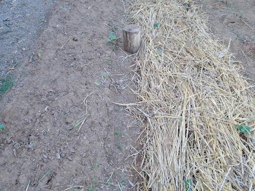 散水後3時間の栽培方法の比較