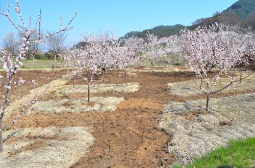 果樹の稲わらマルチ栽培