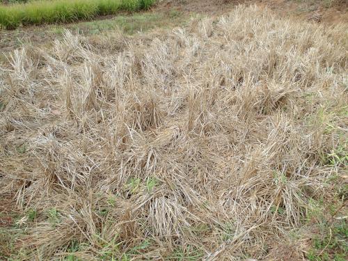 まだ稲わらが残った水田