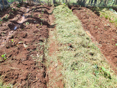 雑草マルチ栽培の比較