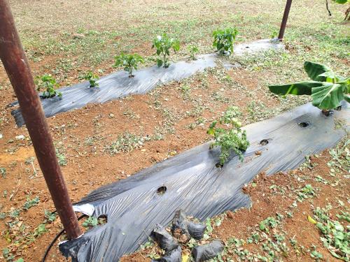 パナマのビニールマルチ栽培