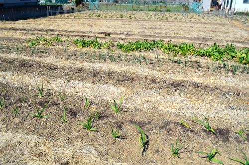 家庭菜園の稲わらマルチ栽培