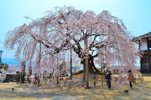 長野県飯田市麻績神社のしだれ桜