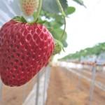 LED植物工場で苺を育てる方法!次世代イチゴ生産システム・品種(植物工場研究会)と第21回日本イチゴフォーラム(園芸学会)に参加した