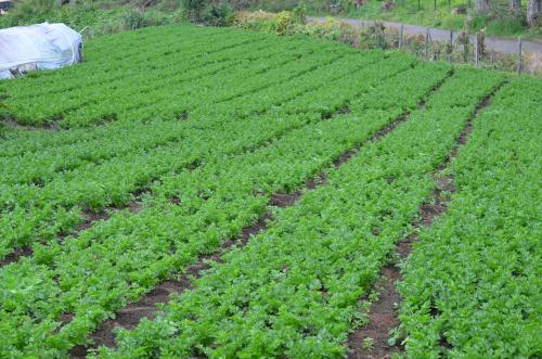 パナマ・チリキ県のセロリ畑