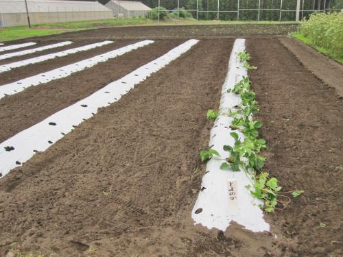 穴あきマルチを使ったイチゴの苗増殖法