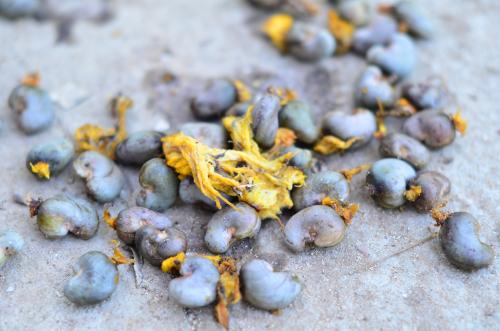 回収したカシューナッツの種