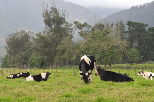 セッロ・プンタの乳牛