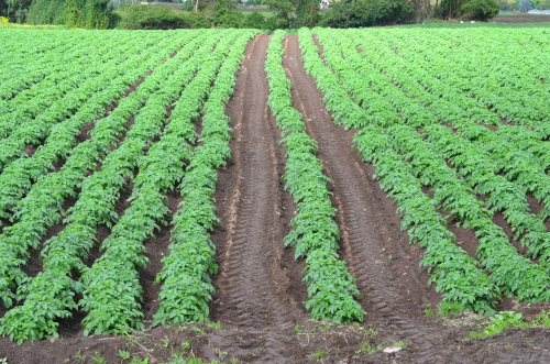 セッロ・プンタ高原の野菜