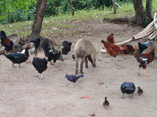 庭で生ゴミを食べる家畜
