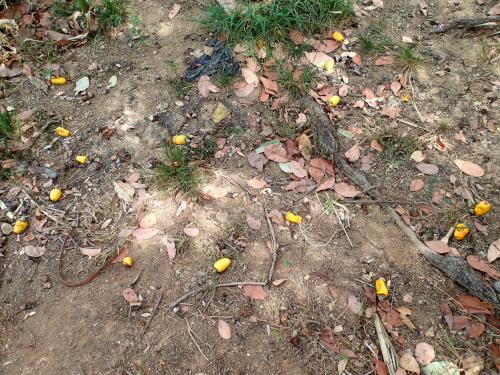 地面に落ちたカシューナッツの実