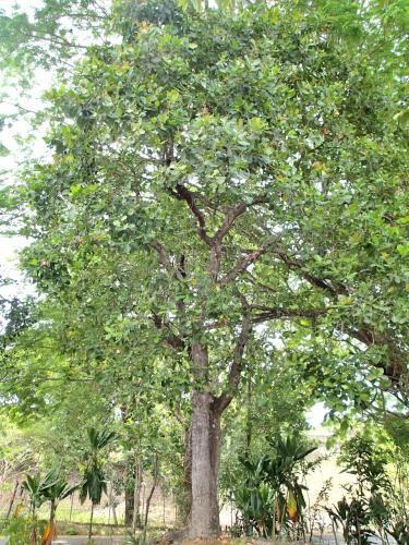 カシューナッツの木