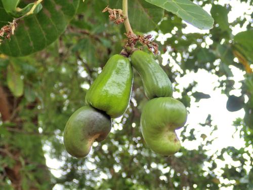 カシューナッツの幼果