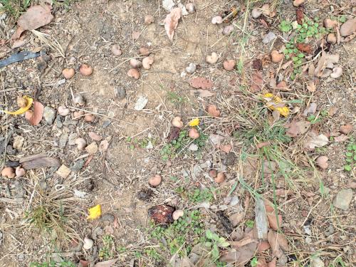 地面に散乱しているカシューナッツの種