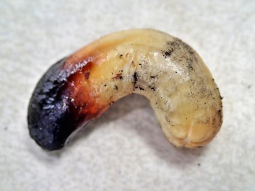 炭で炙ったカシューナッツ