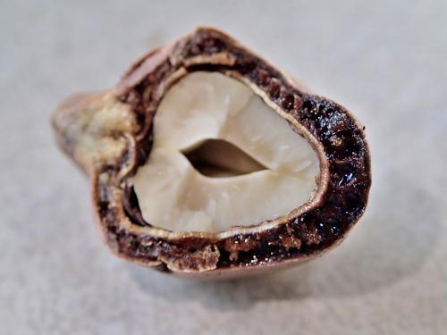 カシューナッツの種の断面