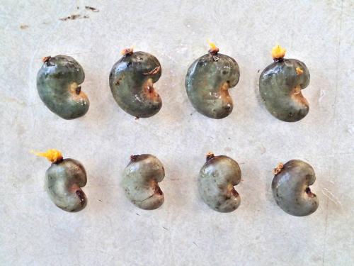 2種類のカシューナッツの種の比較