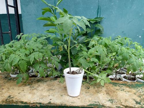 野菜のプラコップ苗