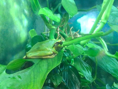 エル・バジェのカエル