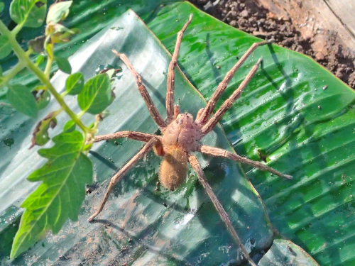 パナマの巨大クモ