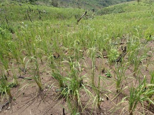 焼畑の陸稲