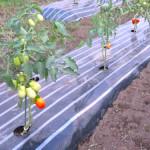 加工用トマトのマルチ栽培