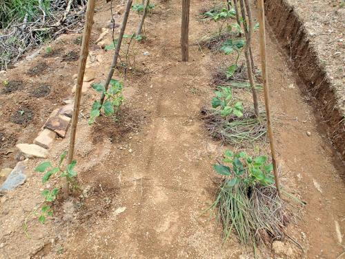 インゲンマメの雑草マルチ栽培の比較