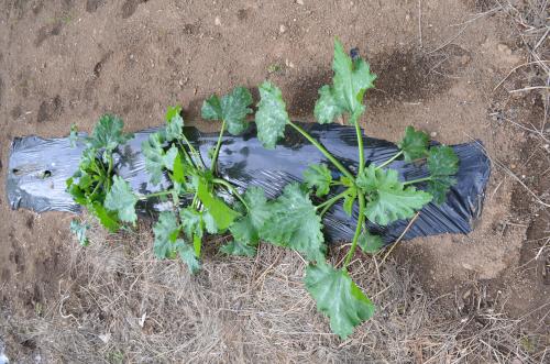 ズッキーニのビニールマルチ栽培