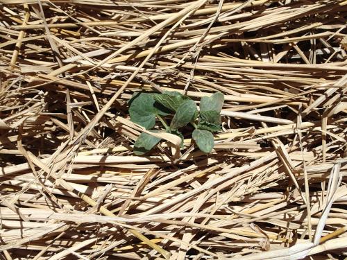 キュウリの稲わらマルチ栽培