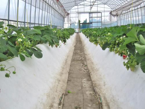 温度抑制効果があるタイベックマルチによる夏イチゴ栽培