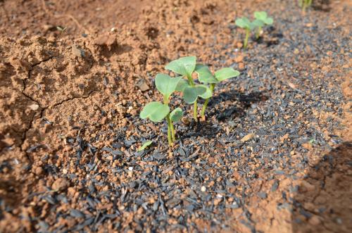 籾殻燻炭の苗への利用