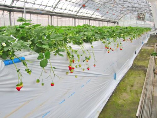 イチゴの高設栽培を覆うビニールマルチ
