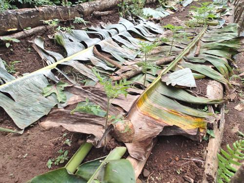 乾燥したバナナの葉マルチング