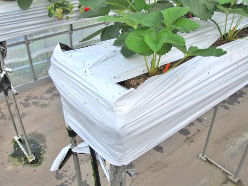 細いマルチを使ったイチゴ栽培