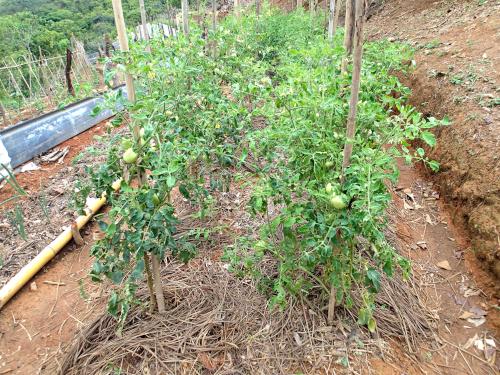 パナマのトマトの雑草マルチ栽培