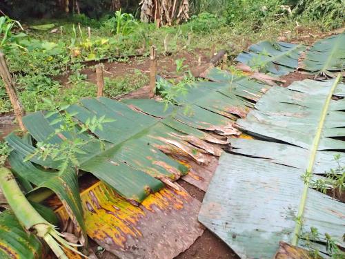 バナナの葉マルチング