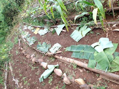 風で吹き飛んだバナナの葉マルチング