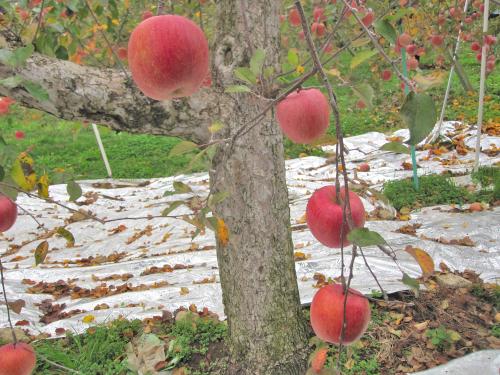 リンゴの着色促進用のシルバーシート