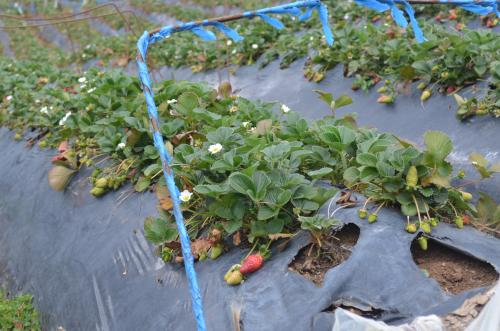 コスタリカのイチゴ栽培の様子