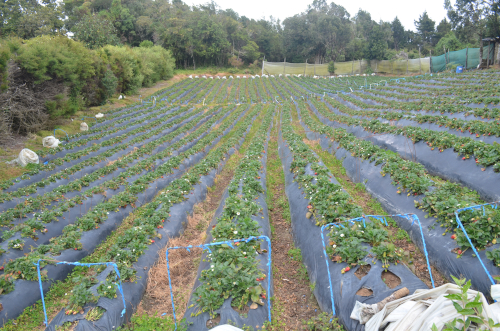 コスタリカのイチゴ畑
