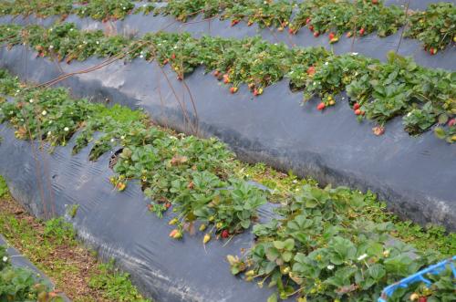 コスタリカのイチゴマルチ栽培