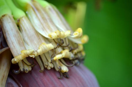 バナナの綺麗な花