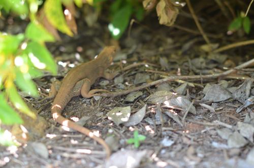 コイバ島のトカゲ
